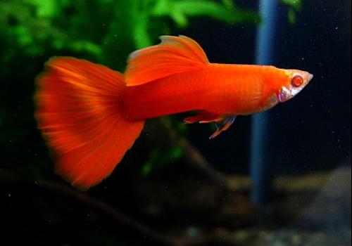 Гуппи красный альбинос (Guppy Albino Full Red)