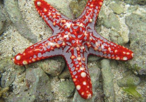 Красная рогатая звезда (Protoreaster lincki)